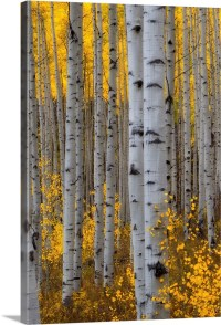 A forest of aspen trees with golden yellow leaves in ...