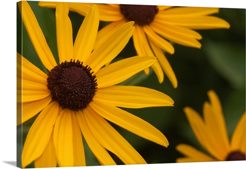 Black Eyed Susans The State Flower Of Maryland Wall Art Canvas Prints Framed Prints Wall Peels Great Big Canvas