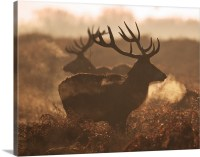 Two large deer stags' backlit breath on an early misty ...
