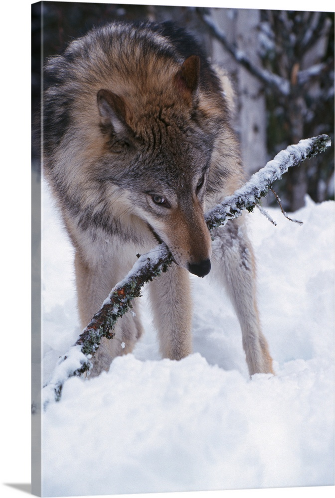 Gray Wolf With Stick In Mouth Winter Montana Photo Canvas Print Great Big Canvas