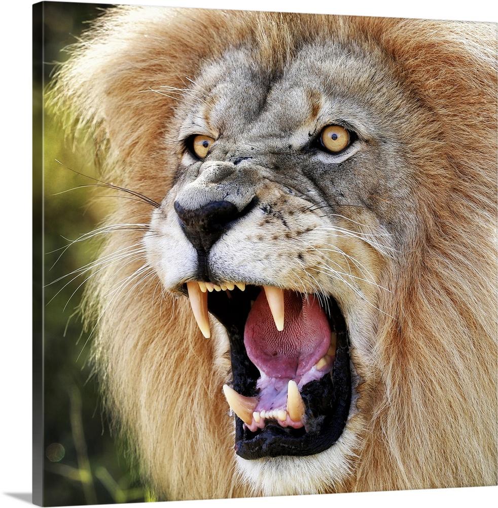 angry lion wall art