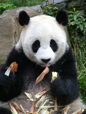 https://i0.wp.com/static.guim.co.uk/Guardian/environment/gallery/2007/nov/12/wildlife/Giant-panda1C-David-Sheppar-8146.jpg