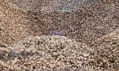 A worker checks on sugar beet