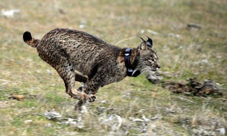 reintroduction of two Iberian lynxes in Villafranca de Cordoba, southern Spain, cork oaks