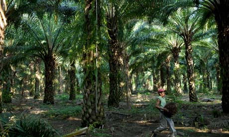 MDG : Guatemal palm oil plantation for biofuel production