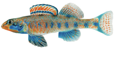 https://i0.wp.com/static.guim.co.uk/sys-images/Environment/Pix/columnists/2012/11/29/1354214556856/Etheostoma-obama-a-new-sp-008.jpg