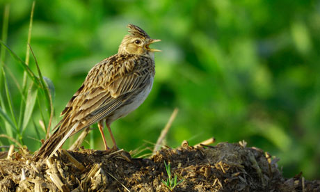 Country Diary : Skylark singing