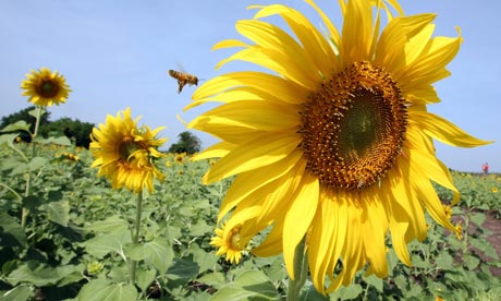 Damian on bees : Bees flys over a sunflower in a sunflower field in Lopburi province