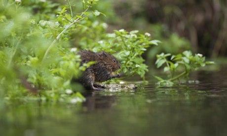 UK rivers : Adult European Water Vole, Arvicola terrestris,