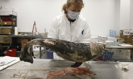 A dead bottlenose dolphin that was found on Ono Island
