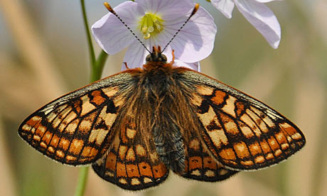 2012 A Disaster Year For UK Butterflies : Orange-tip