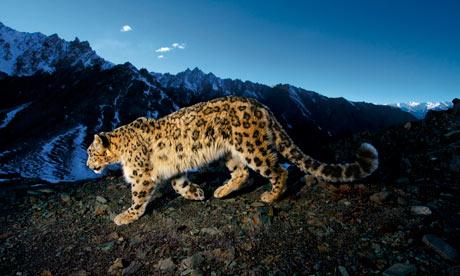 endangered snow leopard in Hemis National Park, Jammu and Kashmir province, India