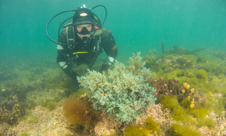 Diver investigates Magic Seaweed in Kimmeridge Bay marine reserve, Dorset