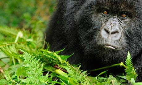 Virunga National Park : Mountain gorilla, Rwanda