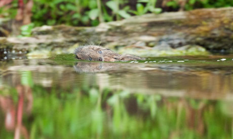 Water vole (Arvicola amphibious) carrying baby to a new nest.