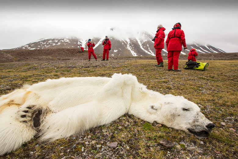 A male Polar Bear (Ursus maritimus) starved to death due to climate change, Svalbard, Norway