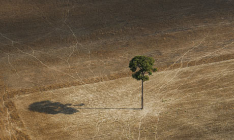 A lone Brazilian nut tree stands in a soy field