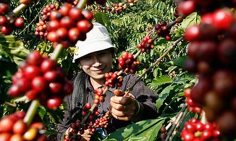 Picker harvests coffee beans in a field in Cu M'Gar district in Vietnam