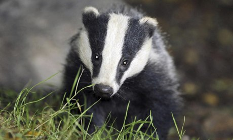 Badger cull ends