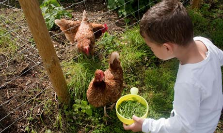 Boy feeding chickens