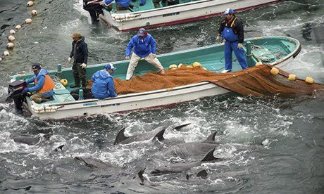 Annual dolphin hunt in Taiji