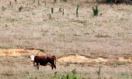Cattle, US drought, Indiana