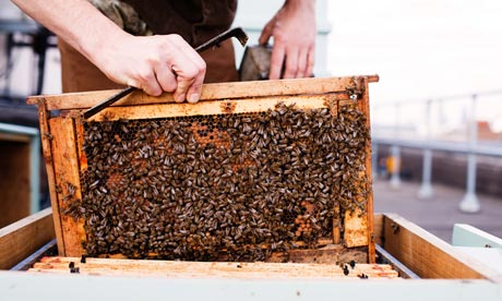 Honeybees being kept in an urban hive