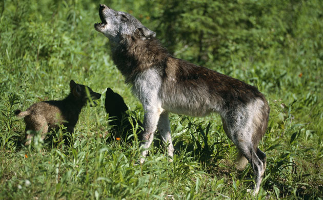 Mother Grey Wolf Howling