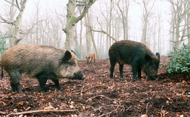 Wild boar return to England