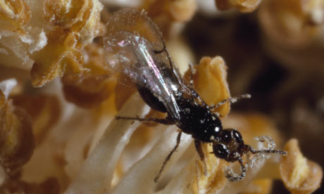 A female fig wasp