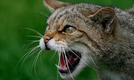 Scottish Wildcay snarling and being aggressive