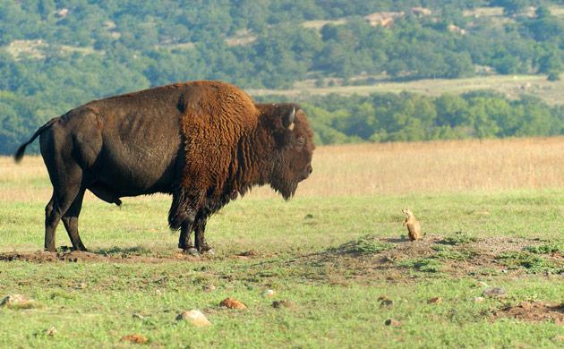 Week in wildlife: Bison And Prairie Dog in the Wichita Mountains Wildlife Refuge, Oklahoma
