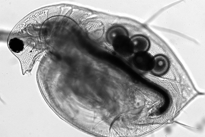Living Water Flea, captured through the Mesolens