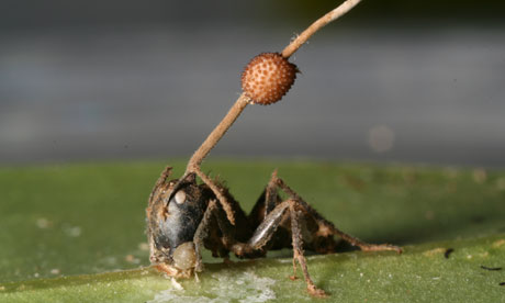 carpenter ant and fungus