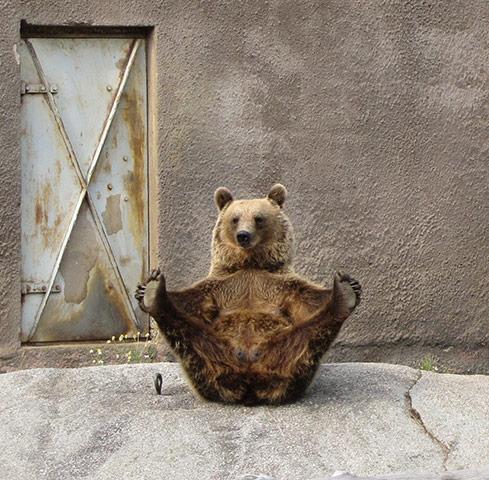 Brown bear Yoga: 1 Female Brown bear doing her early morning Yoga