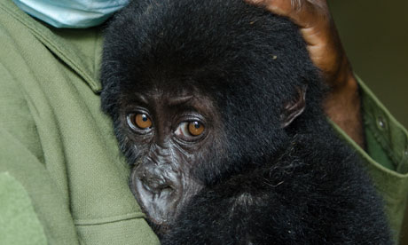 Shamavu the baby gorilla rescued from poachers in DR Congo