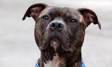 A staffie cross at Battersea Dogs & Cats Home
