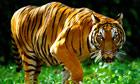 An indochinese tiger in Kuala Lumpur zoo