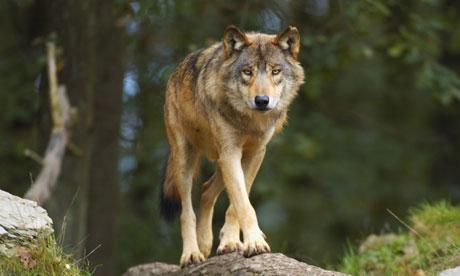 European gray wolf