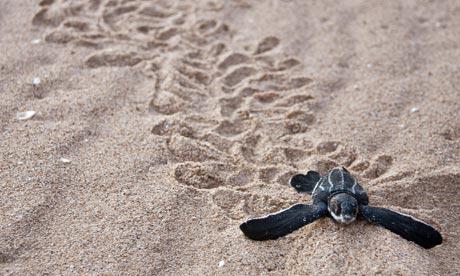 leatherback-turtle-massacre