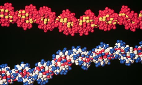 Two molecules of DNA
