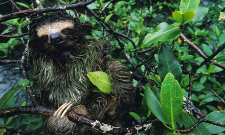 A three toed pygmy sloth in a mangrove tree