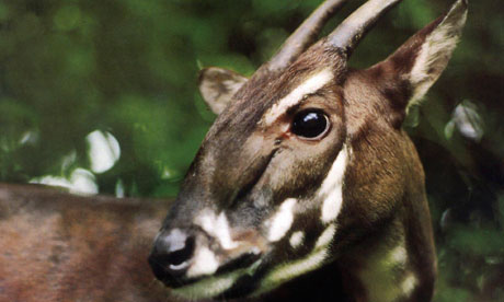 A saola photographed in the jungle of Vietnam