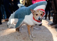 Halloween dog parades  in pictures