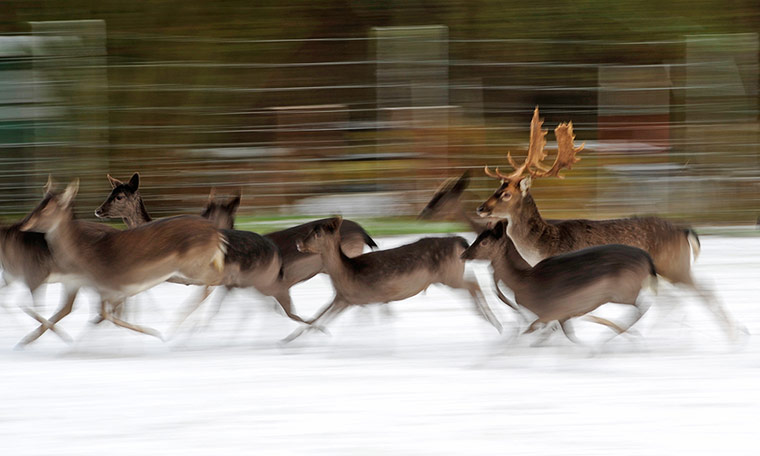 Week in wildlife: Winter in Germany - Stags and deers in the snow