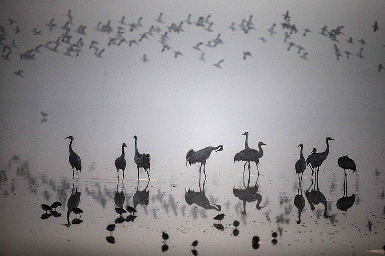 A flock of migrating cranes at the Hula Lake Ornithology and Nature Park