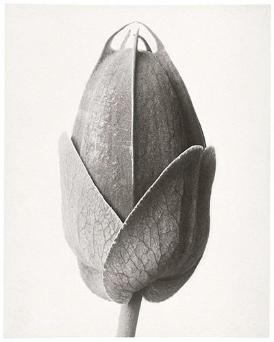 Karl Blossfeldt: Passion Flower - bud
