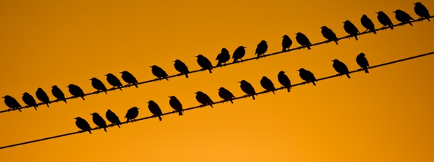 Travel scheduling in progress: Starlings sit on a power line in the morning sun near Lebus