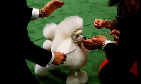 Poodle at Westminster dog show
