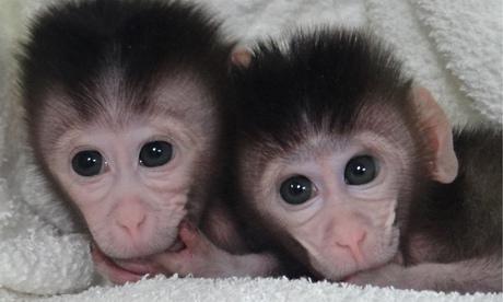 The twin cynomolgus monkeys born